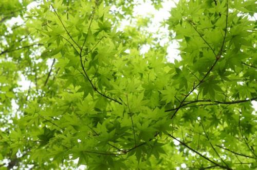 緑ヶ丘公園・新緑