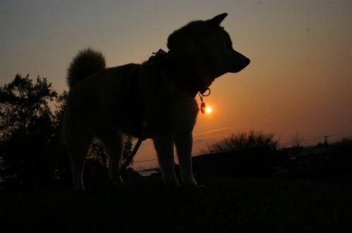 柴犬と夕日