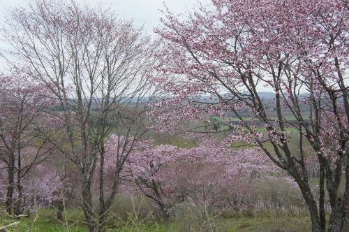 モイワ山桜