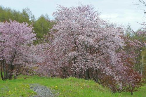 モイワ山・桜