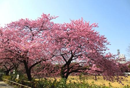 005カワズ桜