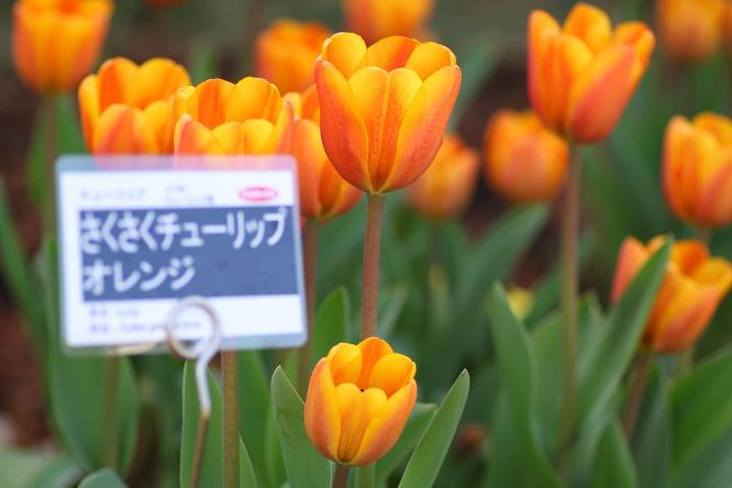 20130202サクサクチューリップオレンジ1a