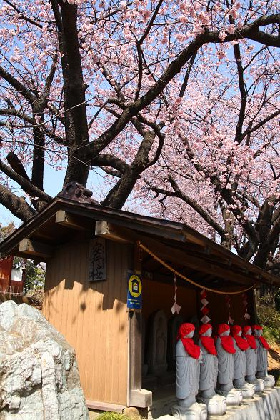 20130316安行桜a