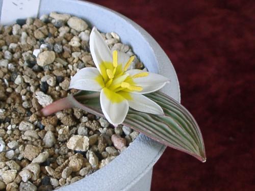 tulipa regelii 2