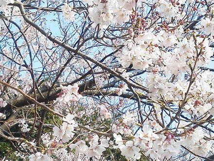 新宿御苑大江戸門入口の桜