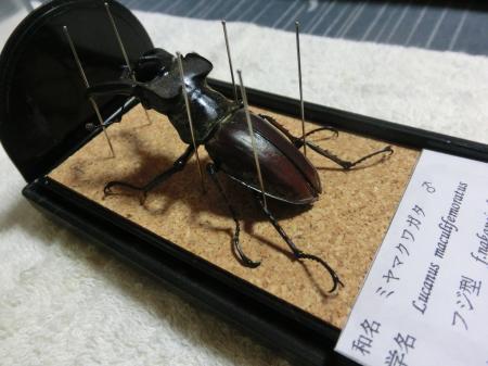 ミヤマクワガタ標本1