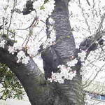 桜 2013.3