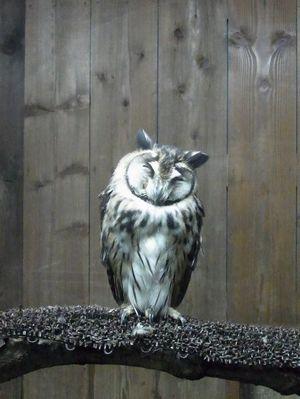 ウサギフクロウ