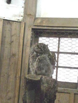 アメリカオオコノハズク