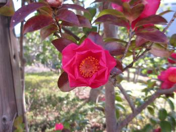 山茶花の赤がまぶしい