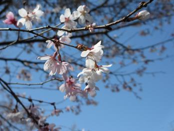 大塚公園の桜
