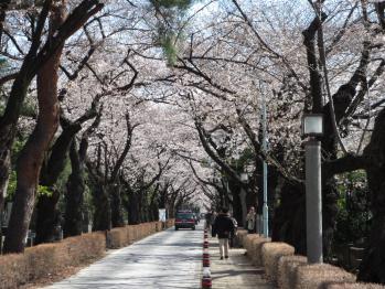 青山墓地の桜01
