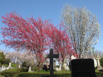 青山墓地のお花