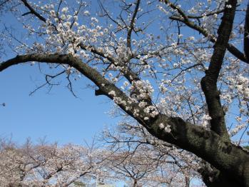 青山墓地の桜03