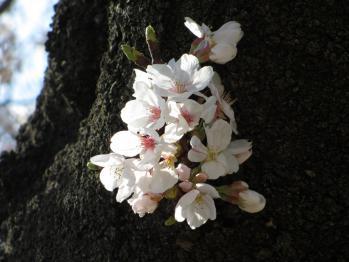 青山墓地の桜02