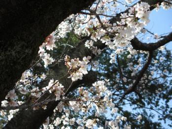 青山墓地の桜05