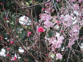 外苑の枝垂れ桜02