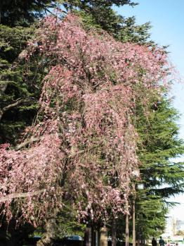 外苑の枝垂桜01