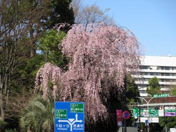 外苑高速入り口近くの枝垂れ桜