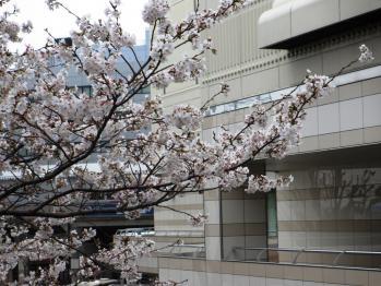 京王百貨店の隣の桜