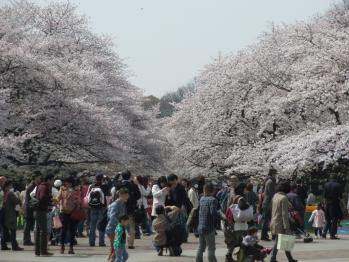 上野の桜1301