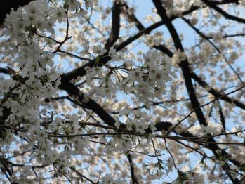 上野の桜は満開だ