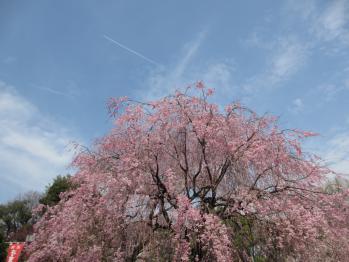 上野の枝垂桜