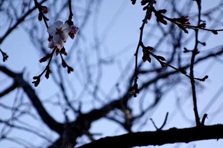 2013初桜
