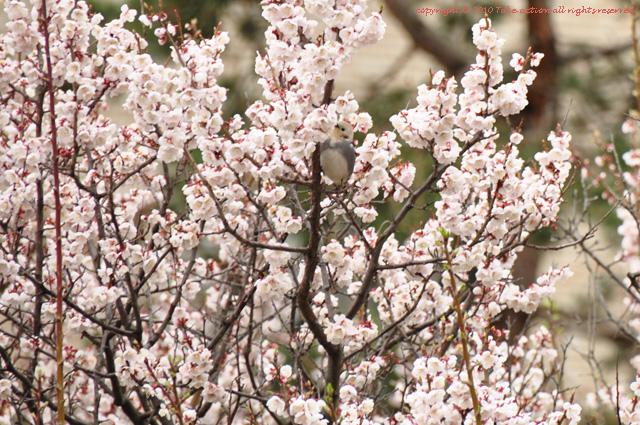 2012・5桜とヒヨドリ1