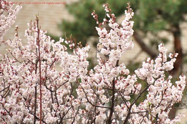 2012・5桜とヒヨドリ2