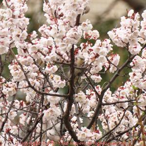 2012・5桜とヒヨドリ3
