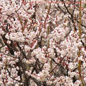 2012・5桜とヒヨドリ4
