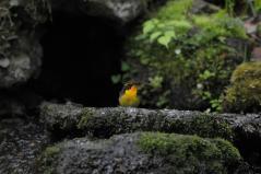 山中湖_キビタキ♂a_120520