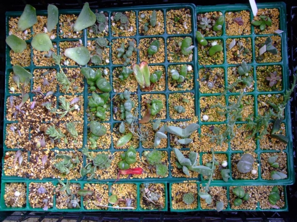 2年目の多肉植物メセン挿し木、葉挿し苗いろいろ~たっぷり水やりしました♪2014.01.02