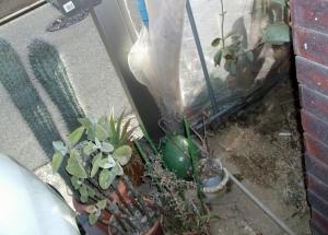 ビニールハウスの狭い角のお掃除~柱サボテン、カランコエ、枯れたユーフォルビア引っ張り出しました2014.01.06(;一_一)