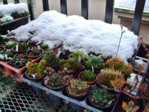 ハオルチア棚~雪が吹きこんで大盛りでしたがもう溶け始め見えてきました♪あ~良かった♪2014.02.09