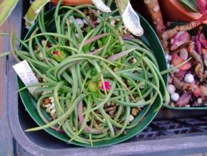 マルロチセラ ステノフィラ(Marlothistella stenophylla)お昼過ぎてもまだ咲きそうですが開かない蕾♪2014.02.01.12:48