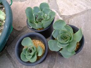 グリーノビア オーレア 玉姫椿(たまひめつばき)(Greenovia aurea) 胴切り挿し木株、開いて成長期です。2013.12.30