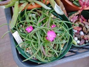 マルロチセラ ステノフィラ(Marlothistella stenophylla)咲き始めました♪2014.02.01.15:50