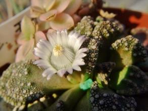 チタノプシス 白花天女(Titanopsis calcarea)午前中は開かず、午後3時頃日当たりのよいところで開花~2013.02.02
