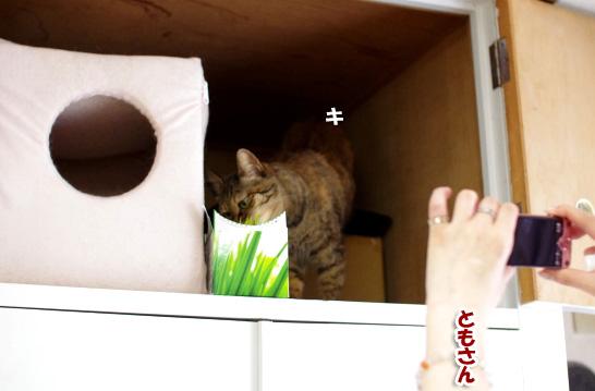 キララ思わず猫草に釣られ0--2322のコピー