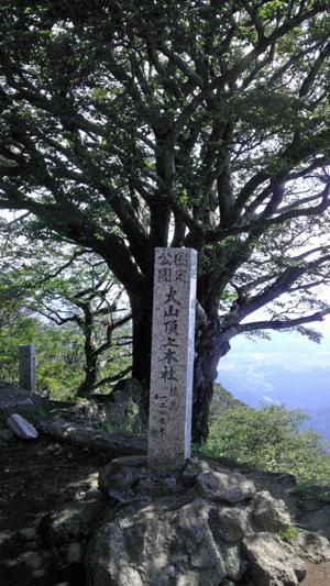 大山山頂の雨降木