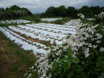 卯の花と畑