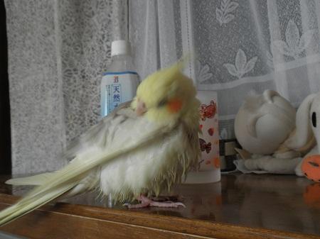 水浴び後の羽づくろい