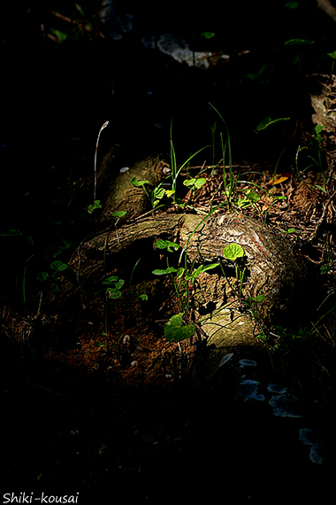 松の木・根っこ