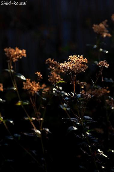 フジバカマ・花跡