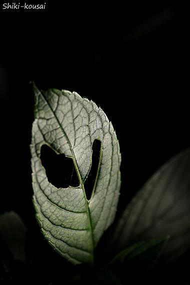紫陽花・葉