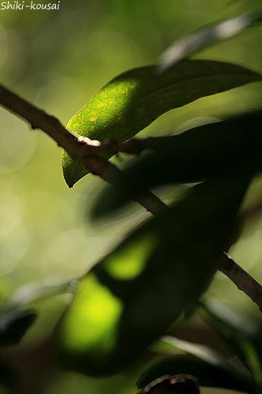 金木犀の葉