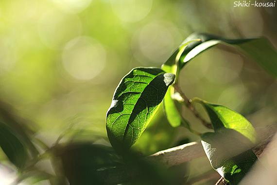 金木犀・葉