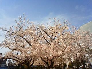 桜満開2013